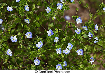 Veronica Speedwell Wildflower