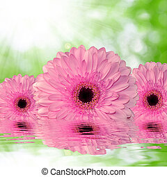 pink gerberas on green background - pink gerberas on green...