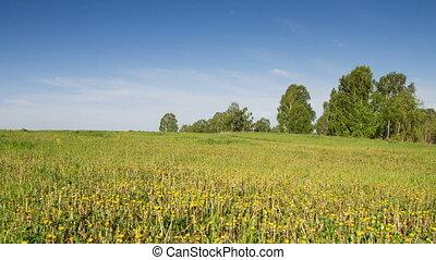 Dandelions - blooming yellow dandelions - timelapse