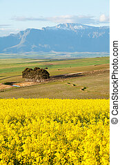 Snow capped mountain range overlooking yellow canola fields