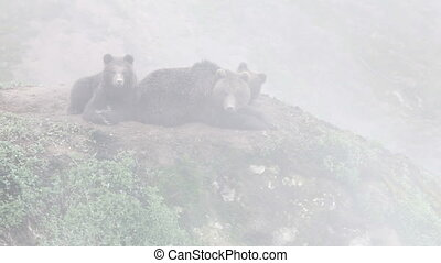 Brown bear in the fog