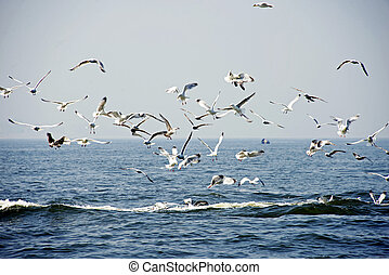Sea gulls flying - sea gulls flying above Atlantic ocean
