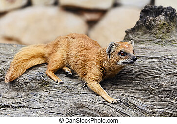Mongoose - Common Mongoose On The Old Tree