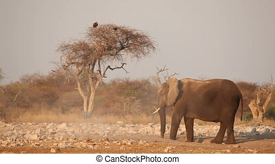 African elephant in the dust - African elephant (Loxodonta...