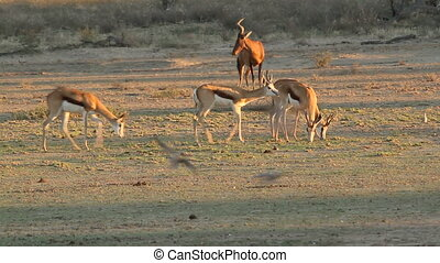 Springbok antelopes (Antidorcas marsupialis) walking with...