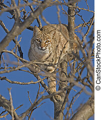 Bobcat - A bobcat sunning in a tree at Quivira National...