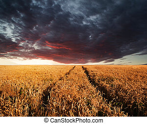 Beautiful image of wheatfield Summer sunset landscape under stormy sky