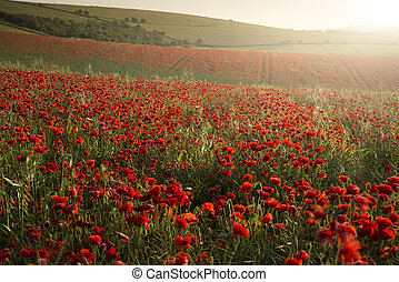 Stunning poppy field landscape under Summer sunset sky -...