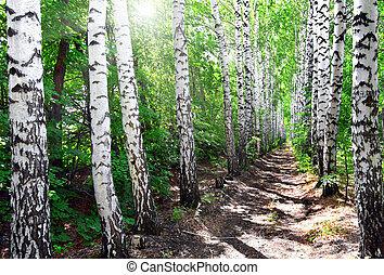 summer birch woods alley