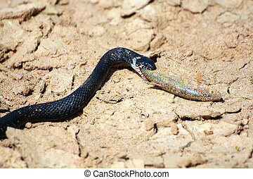 small adder snake with fish