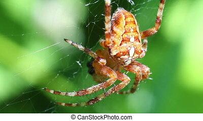 European garden spider - macro - European garden spider -...