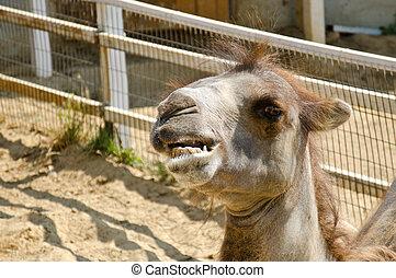Camel teeth - Camel portrait