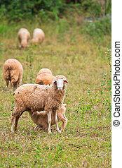 Sheep, granja