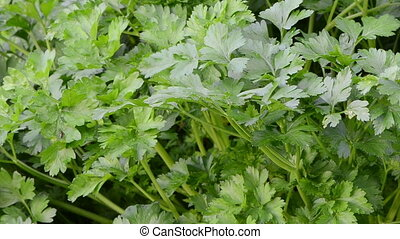 parsley garden closeup - parsley natural spice closeup move...