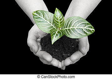 plant in hands - Hands holding sapling in soil on black