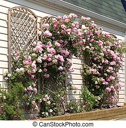 Pink roses growing on trellis