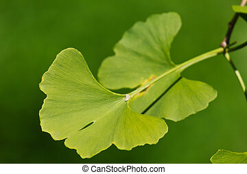 Close-up on ginkgo biloba tree leaves