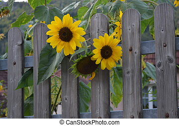 Curiosity Sunflowers - beautiful sunny flowers