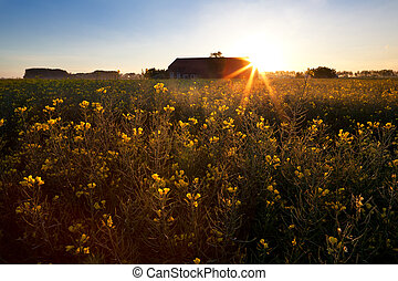 rising sun over rapeseed field - rising star sun over...