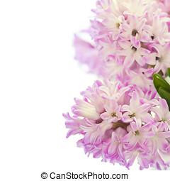 Beautiful Hyacinths - Beautiful Pink Hyacinths  over white