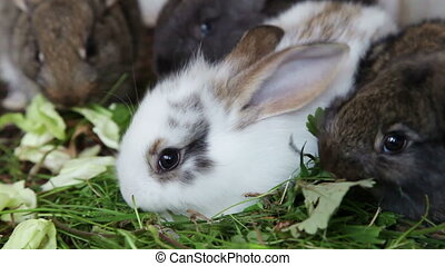 Rabbit family eating grass - Family of grey and white...