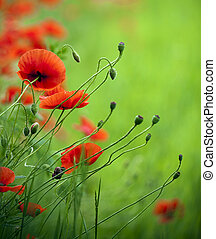 Beautiful red poppy in the green field - Flowering poppies...