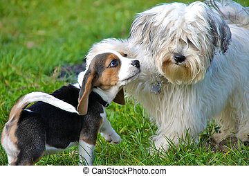Puppies at play - A Havanese and a beagle puppy playing in...