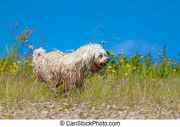 Wet dog running - A wet dog running on a meadow against a...