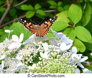 north amercian painted butterfly