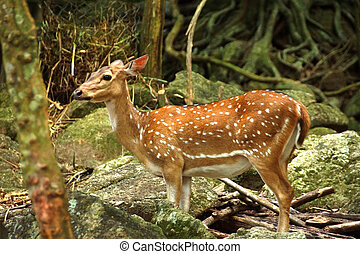 Indian Spotted Deer. (Axis Porcinus)