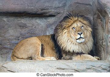 Lion rests - Male lion P Leo rests