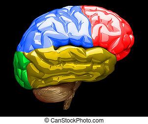 腦子, 人類