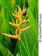 Heliconia inflorescence in bloom