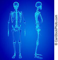 Male Human skeleton, two views