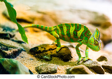 Panther Chamaeleon - Furcifer pardalis in natural...