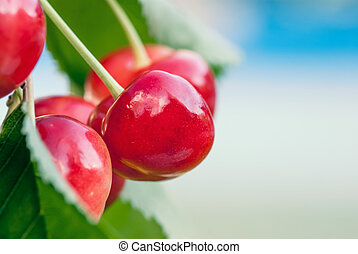 Red and sweet cherries on a branch just before harvest in...