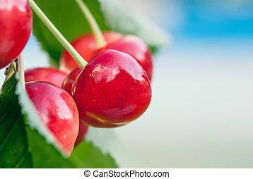 Été, juste, doux, tôt, cerises, branche, récolte, rouges,...
