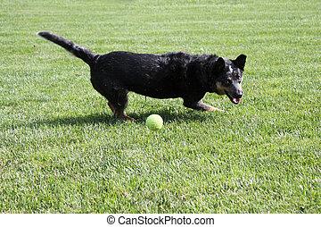 Black dog playing with a ball - Blue Heeler black dog...