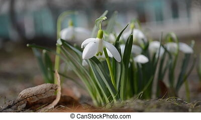 leucojum vernum - first white spring flowers blooms...