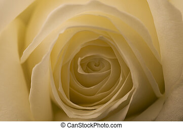 Rosa Bianca White Rose - Macro Still life white rose