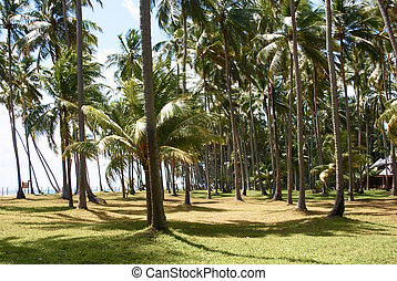 coconut palm-trees on the beach in maragogi, Brazil