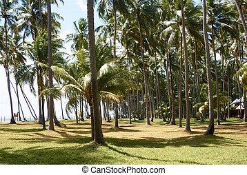 coconut palm-trees on the beach in maragogi, Brazil