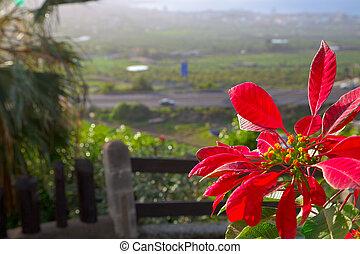 Star of Bethlehem - Red star of Bethlehem flower in bloom.