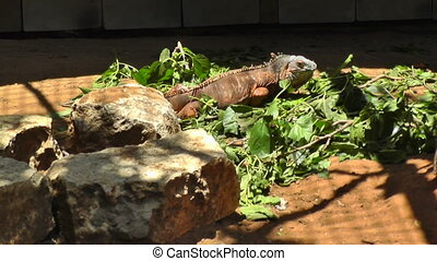 Iguana eating grass - Single iguana on zoo eating