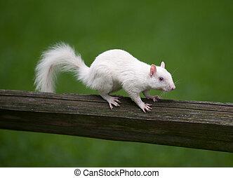 白色, 松鼠