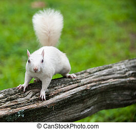 White squirrel - Rare white squirrel on a wooden fence in...