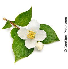 Jasmine flower isolated on white