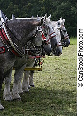 Percherons - Four beautiful gry and white carriage horses