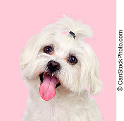 Nice dog with a funny pigtail on a pink background