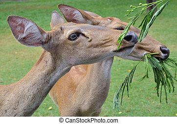 Antelopes feeding